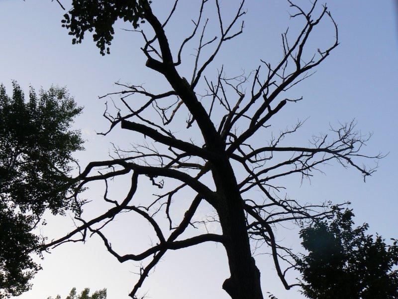 Uschnięte drzewo w lesie między Wólką a Świesielicami
