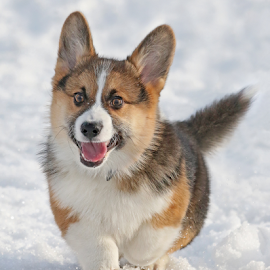 Excited by Mia Ikonen - Animals - Dogs Puppies ( happy, pembroke welsh corgi, finland, cute, running )