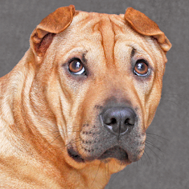 Wondering by Mia Ikonen - Animals - Dogs Portraits ( shar-pei mix, gorgeous, finland, severe, expressive )