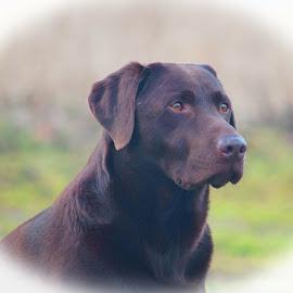 Ruben - Chocolate Labrador by Deborah Lister - Animals - Dogs Portraits