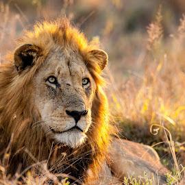 Evening Sun by Kim Stockley - Animals Lions, Tigers & Big Cats ( safari, beautiful, south africa, sundown, beauty in nature, lions, sunlight, evening,  )