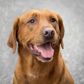 Red Lab by Alan Chester - Animals - Dogs Portraits ( labrador retriever, redlab, dog )