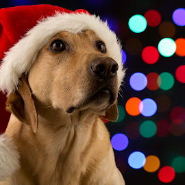 Milk Bones? by Troy Wheatley - Public Holidays Christmas ( colored lights, christmas, holidays, santa hat, dog, yellow lab, mood, mood factory, holiday, hanukkah, red, green, lights, artifical, lighting, colors, Kwanzaa, blue, black, celebrate, tis the season, festive, , colorful, vibrant, happiness, January, moods, emotions, inspiration )