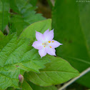 Pacific Starflower