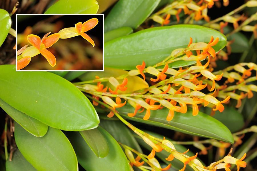 Pleurothallis tubata, una orquídea epífita centroamericana