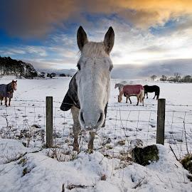 Hello by Wendy Milne - Landscapes Prairies, Meadows & Fields ( field, winter, snow, horse )