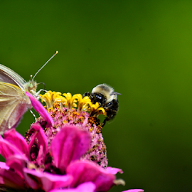 Sharing by Tracey Doak - Novices Only Flowers & Plants ( pink flower, butterfly, zinnia, bee, summer flower )