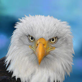 Pretty Bird by Pam Mullins - Animals Birds ( bird, nature, bald eagle, wildlife, raptor, close up )