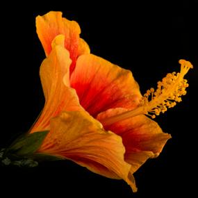Hibiscus by Priyank Jha - Flowers Single Flower ( priyank jha photography, macro, hibiscus, nature, nikon d7100, india, flower )