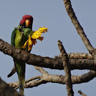 Plum-headed Parakeet (male)