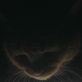 Joe Bob Pancake III by VAM Photography - Animals - Cats Portraits ( cat, ipad, iphone, animal,  )