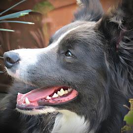 ZAC IN THE GARDEN by Paul Muir - Animals - Dogs Portraits ( collie, blue, border, zac,  )