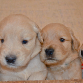 by Deena Zeidler - Animals - Dogs Puppies