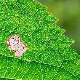 Koala on a leaf by Ruth Holt - Nature Up Close Leaves & Grasses ( koala, pattern, cherry blossom, shape, leaf, animal )