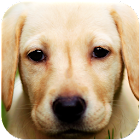 Labrador Wallpapers icon