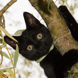 Hello by Stankowski Daniel - Animals - Cats Kittens ( kitten, cat, tree, black )