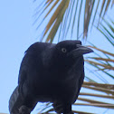 Great- tailed grackle