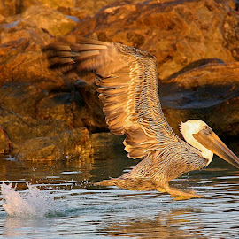 Take off by Zeralda La Grange - Animals Birds ( #bird, #florida, #nature, #animal, #pelican,  )