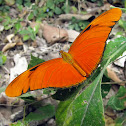 Julia Heliconian Butterfly - male