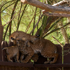 Mom bobcat and her kittens.  by Mark Stewart - Animals - Cats Kittens (  )