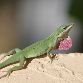 Florida Lizard by Amy Bundenthal Johnson - Animals Reptiles (  )