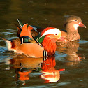 Mandarin ducks (couple)