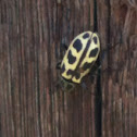 Spotted maize beetle
