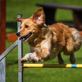 Dog Agility Competition by Stanislav Horacek - Animals - Dogs Running