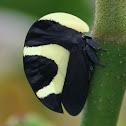 Treehopper (Portuguese Helmet)