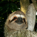 3-fingered Sloth