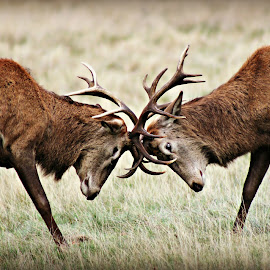 Young Bucks by Tamsin Carlisle - Animals Other Mammals ( aggression, red deer, autumn, grass, antlers, buck, male, sparring, deer )