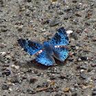 Shining Blue Lasaia