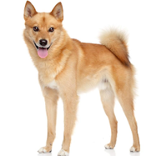 Finnish Spitz Wallpapers