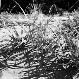 Beach Grass by Shelly Priest - Nature Up Close Leaves & Grasses ( sand, grass, white, beach, shadows, black )