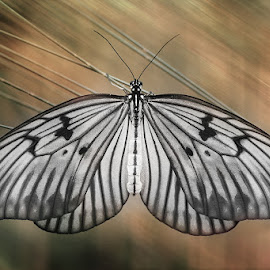 Spread My Wings by Febrianto Tanadi - Animals Insects & Spiders ( butterfly, macro art, macro, macrophotography, mood )