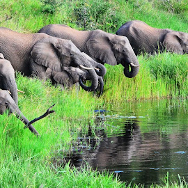 Elephants Drinking by James Hunter - Animals Other Mammals ( kruger national park, elephant, south africa, timbavati, leadwood )