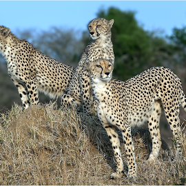 by Keith Rawlins - Animals Lions, Tigers & Big Cats
