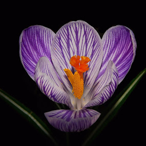 Spring Beauty by Liz Crono - Flowers Single Flower ( macro, crocus, lavender, spring, flower )