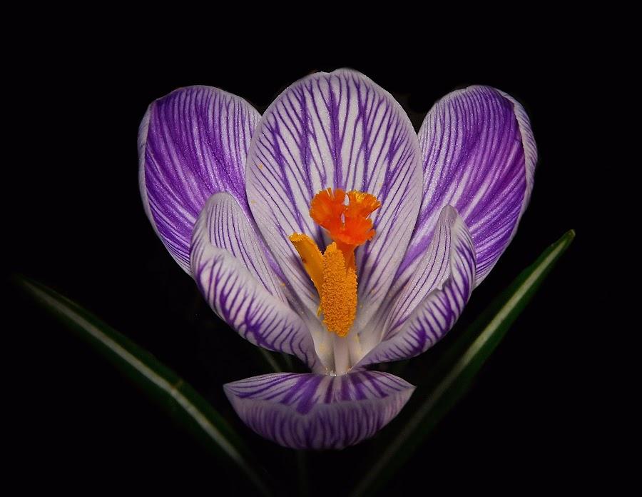 Spring Beauty by Liz Crono - Flowers Single Flower ( macro, crocus, lavender, spring, flower )