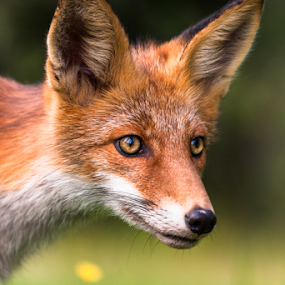 foxy face by Eriks Zilbalodis - Animals Other Mammals ( wild, fox, nature, portrait, animal )