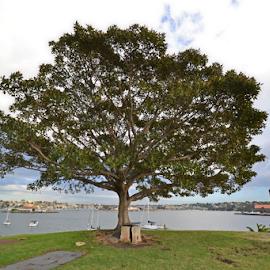 Single Tree by Kamila Romanowska - Nature Up Close Trees & Bushes ( tree, nature, park, australia, public, sydney )