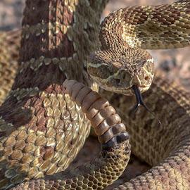 Western Prairie Rattler by James Harrison - Animals Reptiles