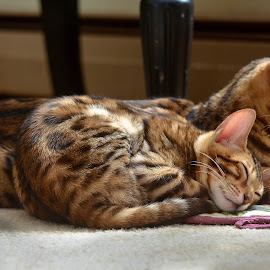 Mama and her baby by Rob Ebersole - Animals - Cats Kittens ( bengal kitten, bengal cat, maplewood bengals )