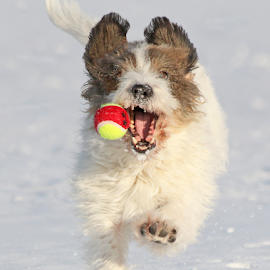 Catching the ball by Mia Ikonen - Animals - Dogs Playing ( petit basset griffon vendéen, finland, fun, cute, running )