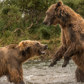 Fighting over a salmon by Ferruccio Galbiati - Animals Other Mammals ( grizzly, nature, bears, alaska, travel,  )