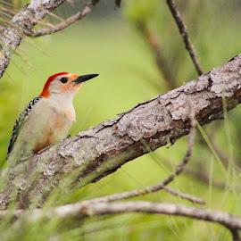 Woodpecker by Jay Dooley - Animals Birds