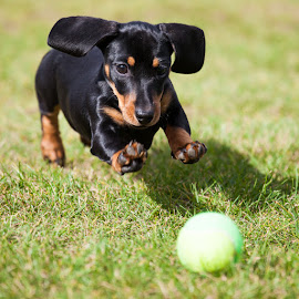 Mini Tennis by Del Waghorn - Animals - Dogs Playing ( daschund )