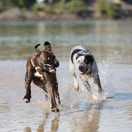 Dogs Playing by Paul Rutherford - Animals - Dogs Playing