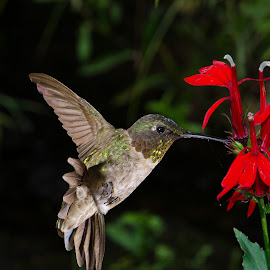 by Lyle Gallup - Animals Birds ( bird, wild, hummingbird, flower )