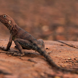 LIzard by William Greenfield - Animals Reptiles ( lizard, native, australian, reptile, animal )